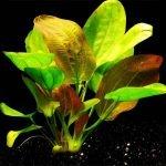 Echinodorus sp. Fancy Twist