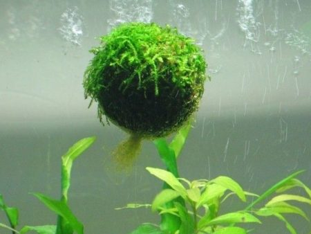 Floating Ball With Java Moss