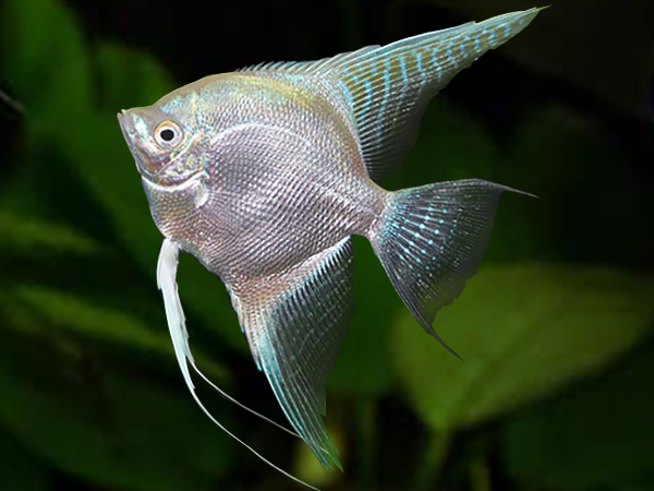 Diamond Platinum Angelfish