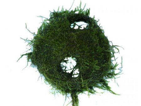 Hole Coconut With Java Moss