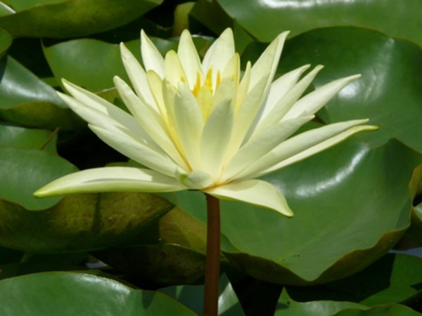 Nymphaea sp. Colonel A. J. Welch