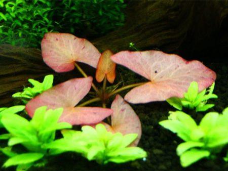 Nymphaea stellata