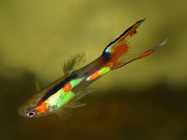 Poecilia wingei «Red Flame Tail»