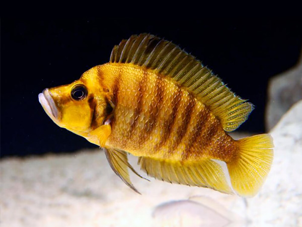 Altolamprologus compressiceps «Yellow Chaitika»
