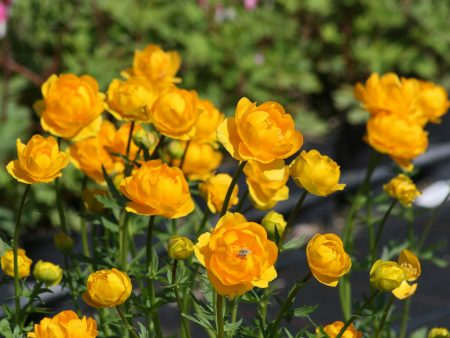 Trollius chinensis «Golden Queen»