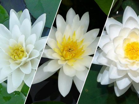 White Lily (Our Selection)