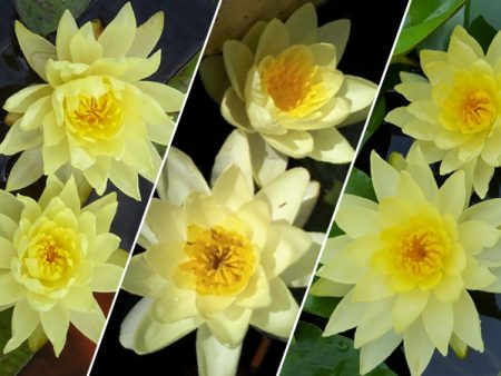 Yellow Lily (Our Selection)