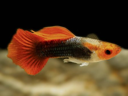Red Cap guppy males