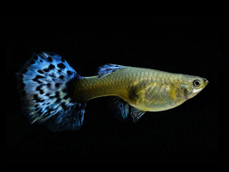 Blue Cobra Guppy Females