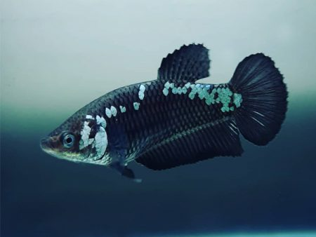 Mamba Shorttail Betta (Male)