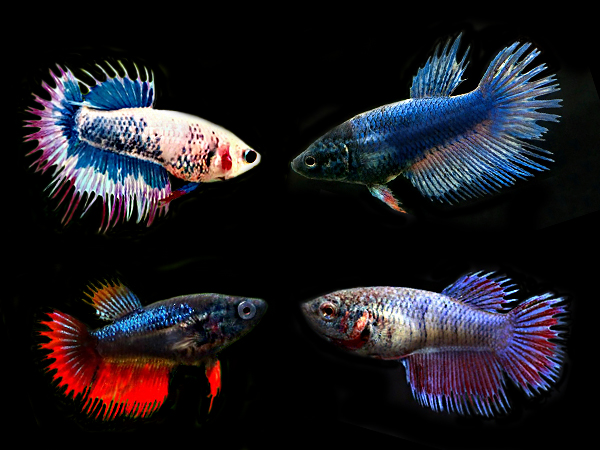 Assorted Crowntail Betta (Females