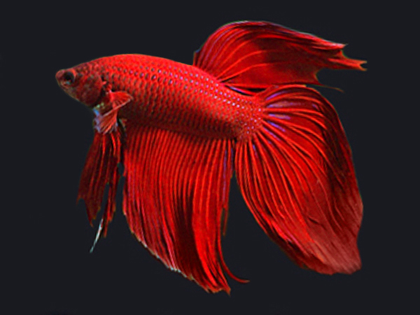 Red Cambodian Longfin Betta (Male)