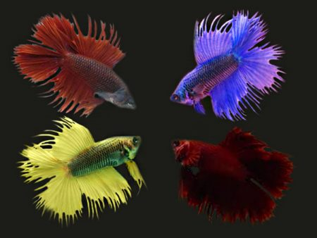 Assorted Doubletail Crowntail Betta (
