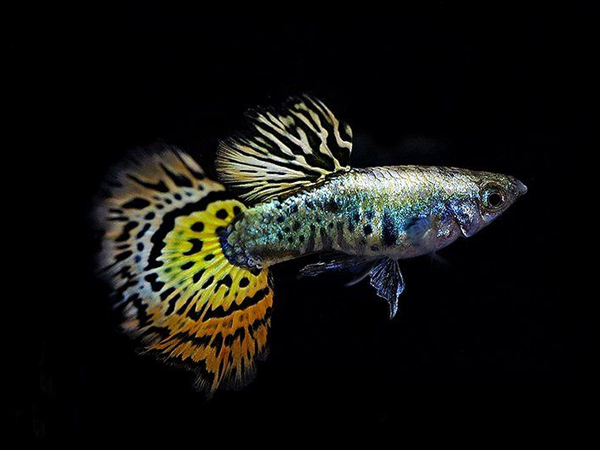 Pair of Galaxy Mosaic Guppy