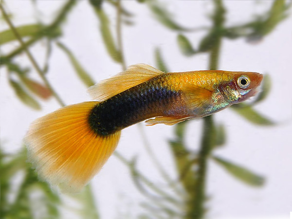 Pair of Gold Tuxedo Guppy