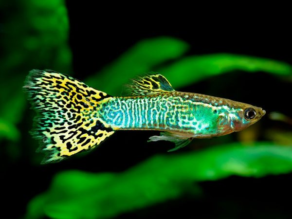 Pair of Green Cobra Guppy