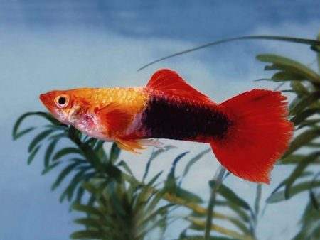 Pair of Red Nose Gold Tuxedo Guppy