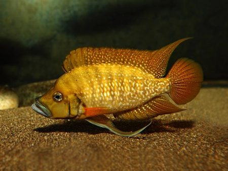Altolamprologus compressiceps «Mabilibili Orange»