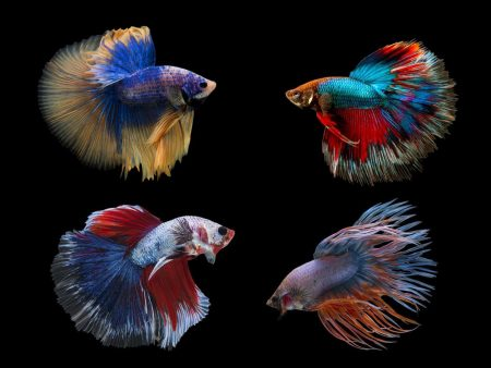 Assorted Colours Fancy Betta (Males)