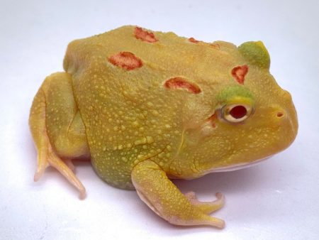Ceratophrys cranwelli «Four-Spot Patternless Albino»