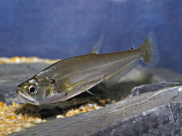 Hydrolycus scomberoides