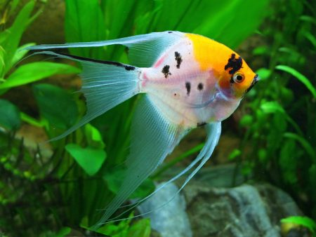 Koi Longfin Angelfish
