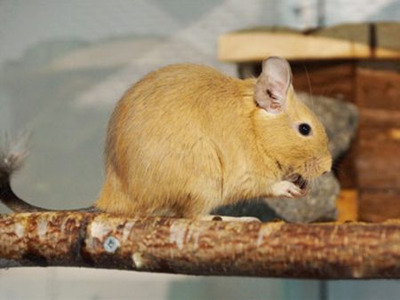 Octodon degus «Yellow Sand»
