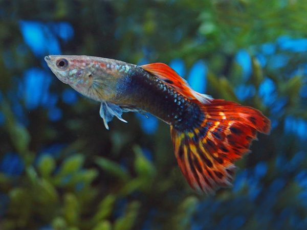 Pair of Dragon Head Guppy