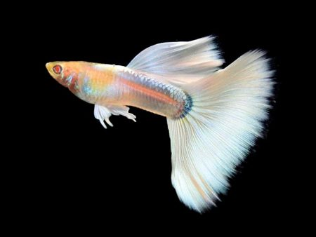 Pair of Full Platinum Albino Guppy