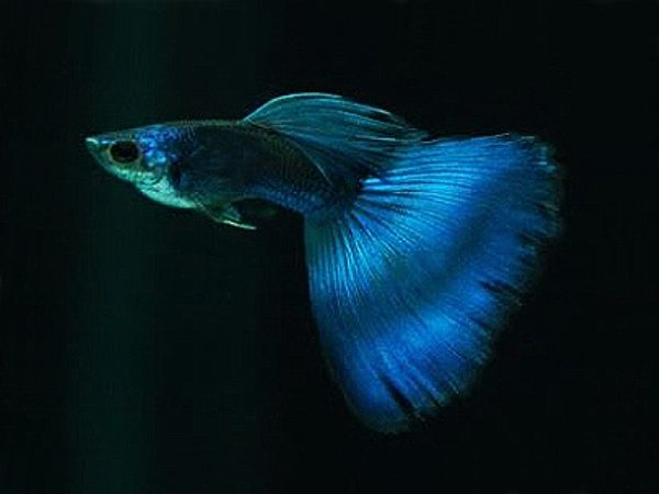 Pair of Moscow Blue Guppy