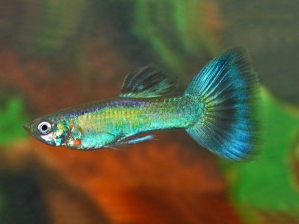 Peacock Green Guppy Males