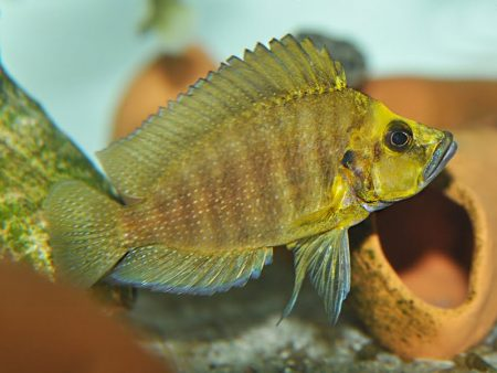 Altolamprologus compressiceps «Kantalamba Gold Head»