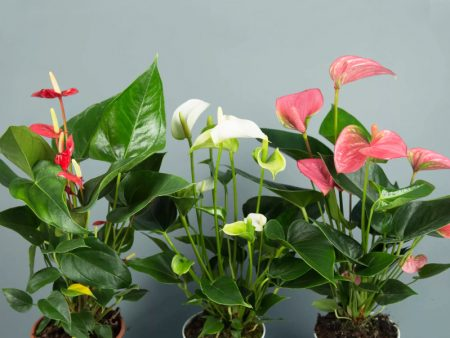 Anthurium species