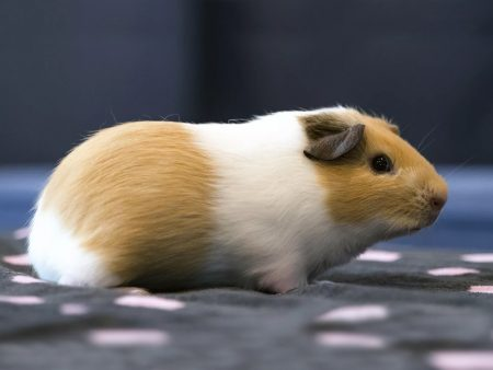 Cavia porcellus «Short Haired»