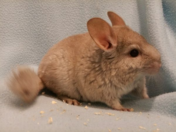 Chinchilla lanigera «Beige»