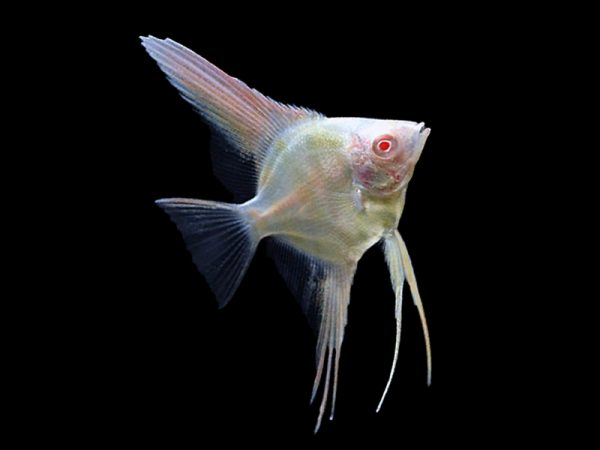 Gold Albino Angelfish