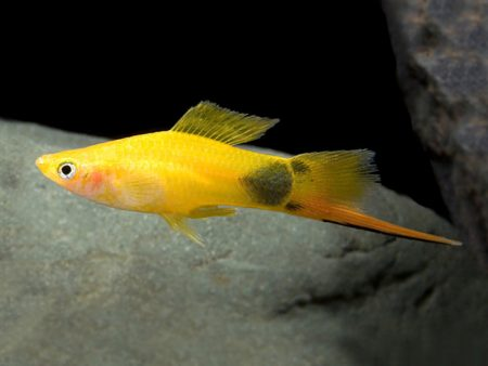 Mickey Mouse Swordtail5