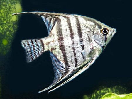 Pinoy Zebra Angelfish