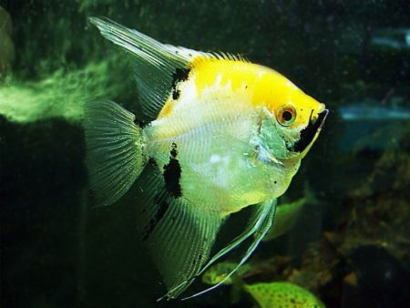 Yellow Head Marble Angelfish