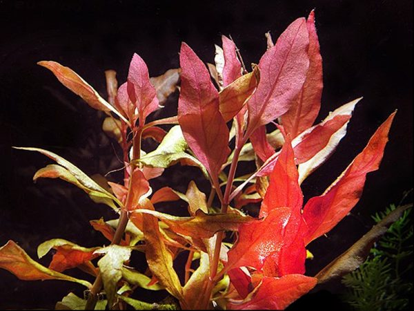Alternanthera reineckii «Splendida»