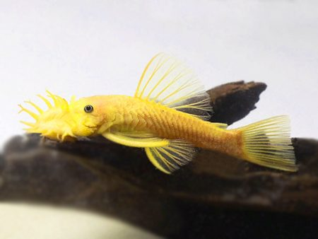 Ancistrus sp L144 «Lemon»