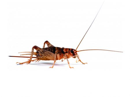 Banded Crickets (Czech Supplier)