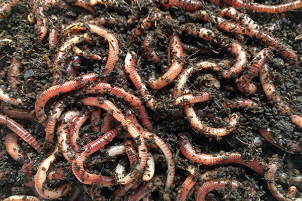 Common Earthworms