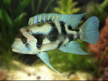 Cyphotilapia frontosa «Black Widow»