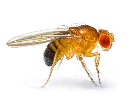 Fruit Flies (Czech Supplier)