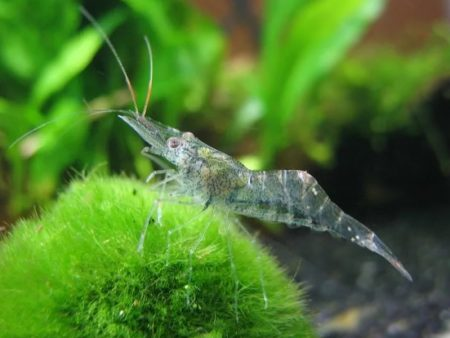 Glass Shrimp