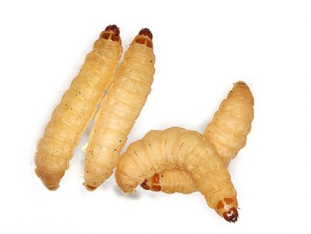 Honeycomb Moth Larvae