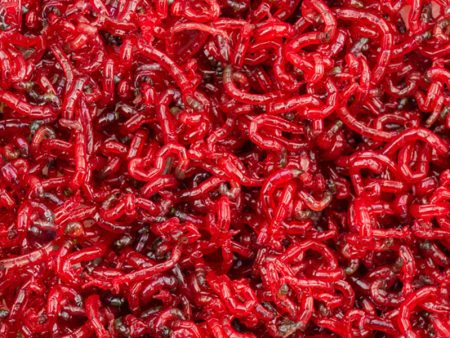 Sealed Live Jumbo Bloodworm in Bulk