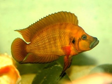 Altolamprologus compressiceps «Red»