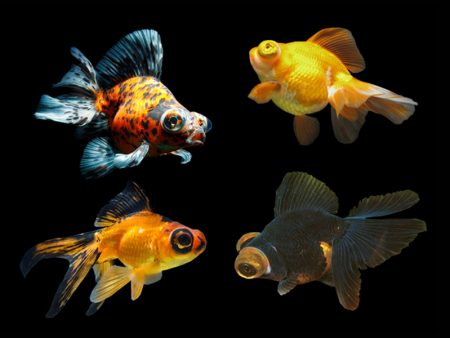 Assorted Telescope Goldfish